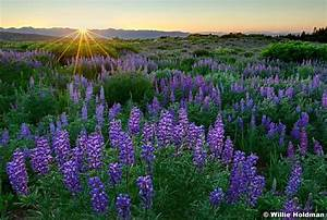 Was Ist Lupine : 17 best images about purple mountain majesties on pinterest lakes yellow wildflowers and ~ Yasmunasinghe.com Haus und Dekorationen