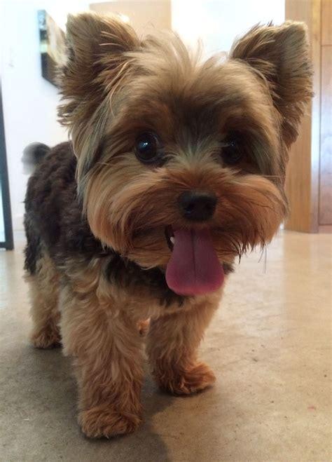 pin  karolyn wilson  favorite dogs yorkie puppy haircuts yorkie puppy yorkie terrier