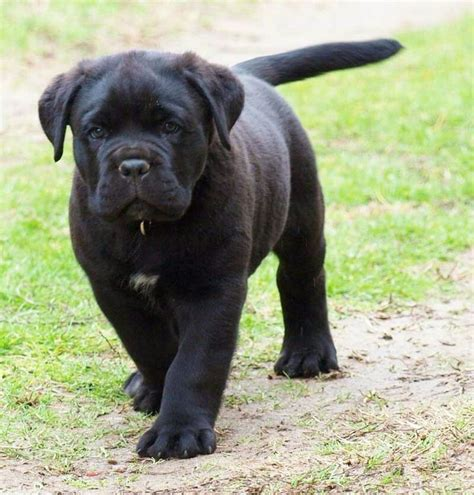 Corso Puppy Shedding by The 25 Best Black Corso Ideas On Italian