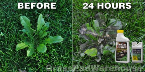 how to kill dandelions killing clover weeds cool weather weeds how to kill dandelions in quotes