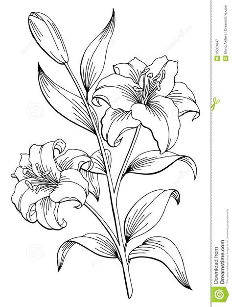 Lily Flower Graphic Black White Isolated Sketch