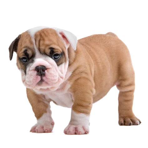 food  english bulldog puppy   goodpuppyfood