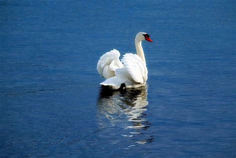 imagen gratis cisne ave agua naturaleza lago