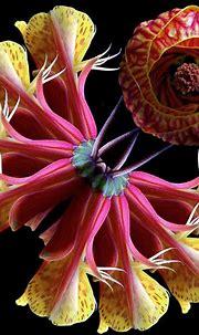 Tiger Eye & Peruvian Lilies | Crodd Chin | Flickr
