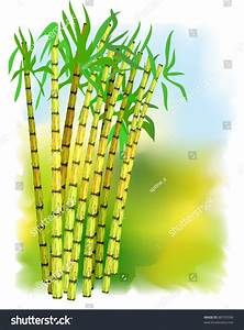 Plant Of Sugar Cane. Vector Illustration. - 88703596 ...
