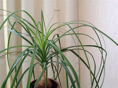 Australischer Flaschenbaum Zimmerpflanze by Australischer Flaschenbaum Oder Elefantenfu 223 187 Oder