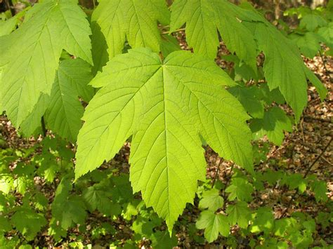 names of maple trees maple trees names pictures and types of acer species