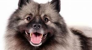 Keeshond Dog Breed Information - American Kennel Club