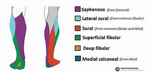 The Common Fibular Nerve - Course - Motor
