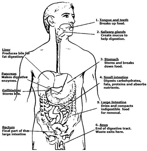 digestive system anatomy  physiology picture sketch