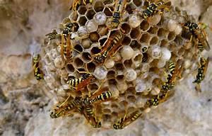 Wespen Im Haus : wespennest entfernen lassen umsiedeln haus garten dach ~ Lizthompson.info Haus und Dekorationen