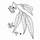 Eucalyptus Tree Coloring Tattoo Drawings Gum Leaf Sketch Plants Bark Template Native Line Umbra Pages Designlooter Christmas จาก นท Grey sketch template