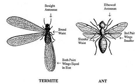 difference  ants  termites