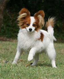 Dogs That Dont Shed Papillon by Papillon Animals