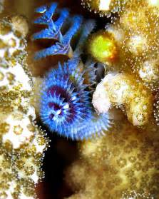 Christmas Tree Sea Worm