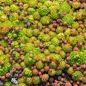 Everything You Need To Know About Sedums  Our Detailed