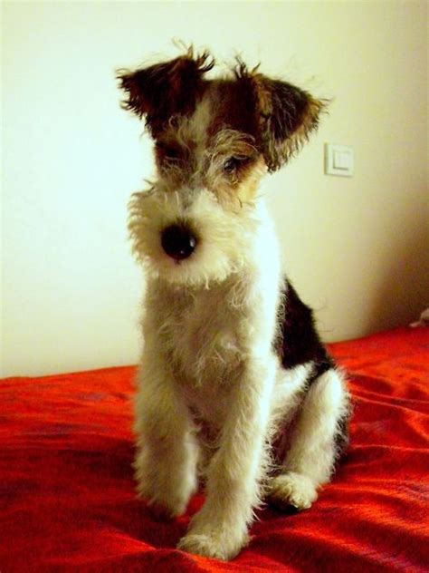 images  wire haired fox terriers