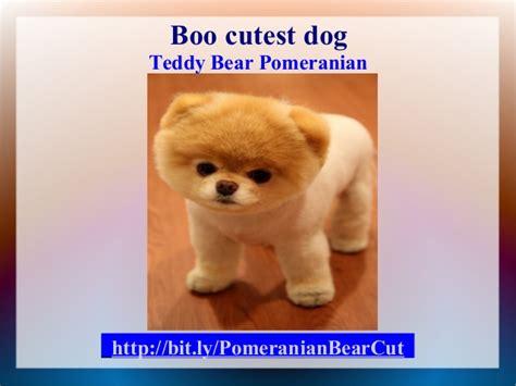 Pomeranian Bear Cut