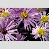 purple-flowers