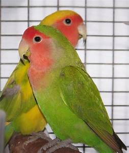 Photo Collection Images Of Lovebirds Photo