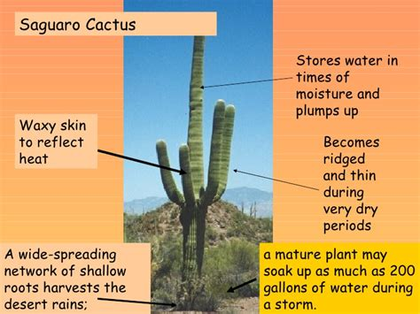 Diagram Of Saguaro Cactu by Lsn34 How Do Plants And Animals Adapt To