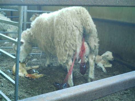 lambing ewe another single