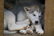Canadian Eskimo Dog Puppy