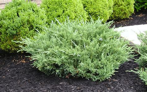 juniper plant shrub plants lehigh acres