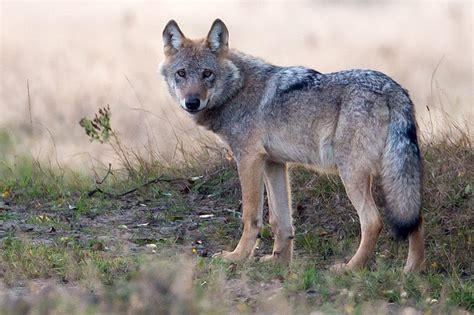 lag wolf nabu niedersachsen