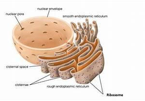 Endoplasmic Reticulum  Rough And Smooth  Er