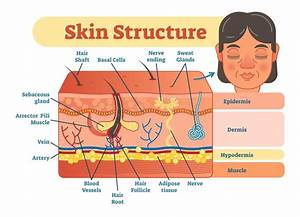 Skin Structure Vector Illustration Diagram With Skin
