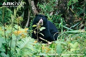 Spectacled bear photo - Tremarctos ornatus - G5683   Arkive