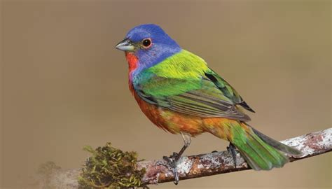 How To Attract Indigo Buntings To Your Backyard by Buntings Birds Unlimited Birds Unlimited