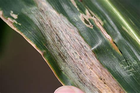 gosss bacterial wilt  leaf blight  corn