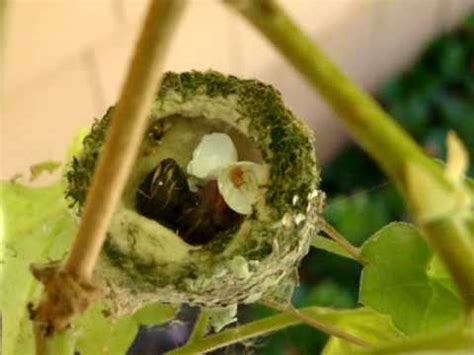 the gallery for gt bee hummingbird egg