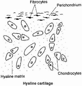 Cartilage Types  A Hyaline Cartilage