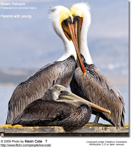 Brown Pelicans | Beauty of Birds