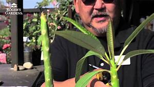 How To Root A Plumeria Cutting With Steve Goto