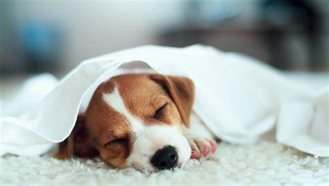 jack russell terrier welpen suesse bilder und fakten