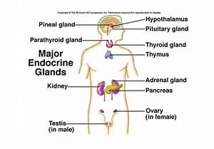 Skene Glands Diagram