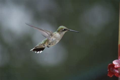 hummingbird migration wild bird newsletter archive