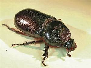 Destructive coconut rhinoceros beetles found on Pearl City ...