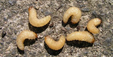 white grub in soil got grubs pesche s