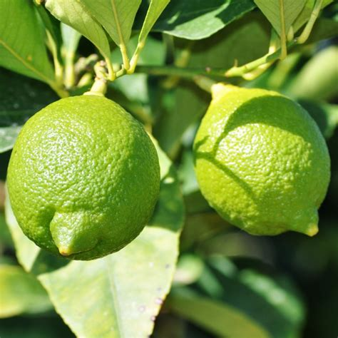 planter un citronnier en pot cultiver oranger et citronniers en pot with planter un