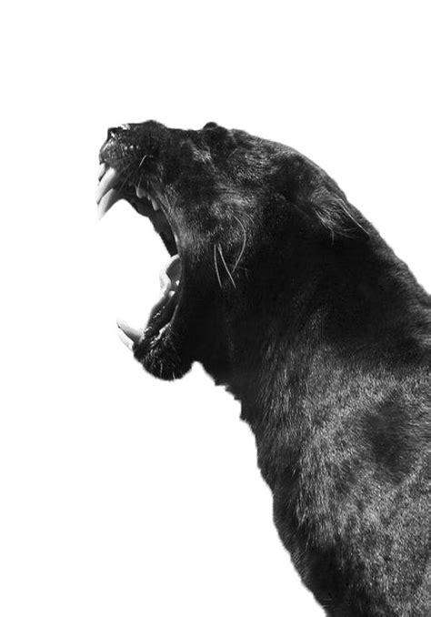 #black #panther   Black jaguar, Big cats, Animal photography