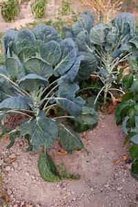 Planter Des Choux Fleurs : choux de bruxelles semer cultiver et r colter au potager ~ Melissatoandfro.com Idées de Décoration