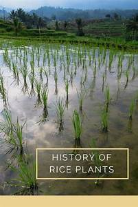 Rice Plant Info  What Is The History Of Rice Plants