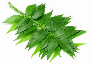 Neem Leaves - The One Which Keeps All Diseases At Bay - Healthyliving From Nature