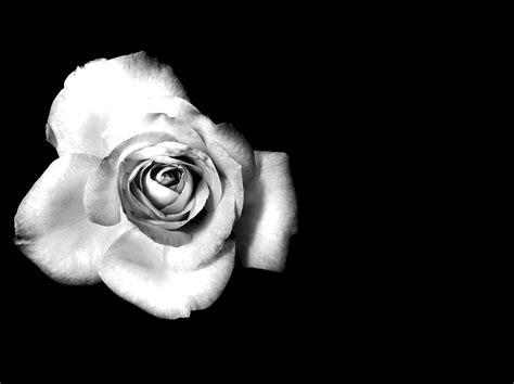 busch mit weißen blüten die 81 besten schwarze hintergrundbilder f 252 r