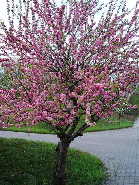 best small flowering trees small pink flowering trees 28 images flowering trees for the landscape